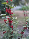 Redcurrant in garden, ribes stock images