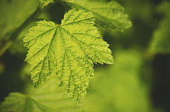 Ribes Leaf. Green Ribes leaf close up Stock Images
