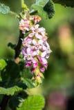 Ribes malvaceum Chaparral Currant. San Francisco bay area, California royalty free stock photos