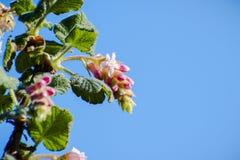 Ribes malvaceum Chaparral-Korinthe stockbild