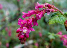 Ribes malvaceum flower. Pink flowers of Ribes malvaceum Chaparral Currant in nature in California stock images