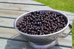 Ribes neri di recente selezionati in una colapasta o in un piatto Immagine Stock
