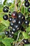 Ribes nero Immagine Stock Libera da Diritti