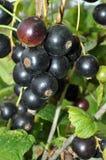Ribes nero Immagine Stock