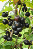 Ribes nero Immagini Stock