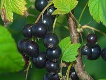 Ribes nero. Immagine Stock