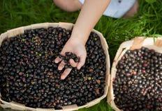 Ribes nero del raccolto delle mani dei bambini fotografia stock