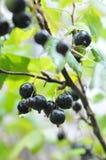 Ribes nero dopo una pioggia Fotografia Stock