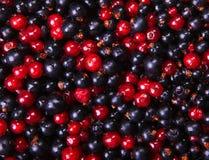 Ribes nero e Fotografie Stock