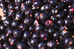Ribes nigrum black currant Royalty Free Stock Photography