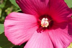 Ribes nigrum kwiatu zakończenie Zdjęcie Stock