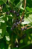 Ribes nigrum. Raw Ribes nigrum growing in summer Royalty Free Stock Images