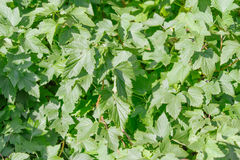 Ribes nigrum. Raw Ribes nigrum growing in summer Royalty Free Stock Photos