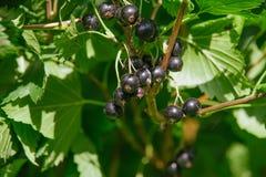 Ribes nigrum. Raw Ribes nigrum growing in summer Stock Image