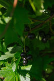 Ribes nigrum. Raw Ribes nigrum growing in summer Stock Image