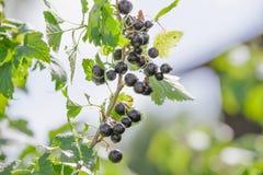 Ribes nigrum. Raw Ribes nigrum growing in summer Stock Photo