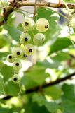 Ribes niveum Stock Photography