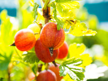 Ribes non mûr de hinomeaki au plan rapproché Photographie stock