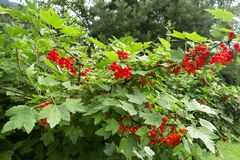 Ribes plant with fruit. Ribes plant with many fruit Stock Photos