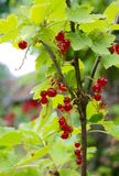 Ribes red berry growing in a garden stock image
