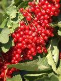 Ribes rosso Fotografia Stock Libera da Diritti