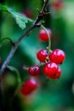 Ribes rosso Fotografia Stock