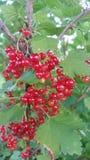 Ribes rosso Immagini Stock Libere da Diritti