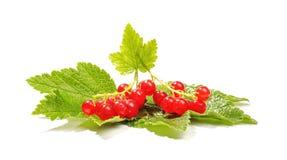 Ribes rosso con l'alta chiave delle foglie Fotografia Stock Libera da Diritti