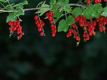 Ribes rosso fresco maturo sul ramo su sfondo naturale verde scuro con lo spazio della copia Immagini Stock