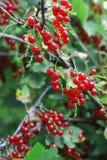 Ribes rosso maturo Immagini Stock