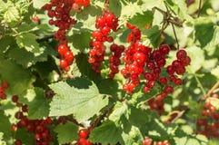 Ribes rosso maturo che appende su un cespuglio Fotografia Stock
