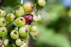 Ribes rosso non sano del giardino di estate con fondo confuso Immagini Stock Libere da Diritti