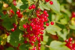 Ribes rubrum Stock Photo