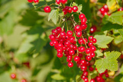 Ribes rubrum Royalty Free Stock Photography
