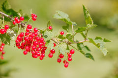 Ribes rubrum. Raw Ribes rubrum berry in summer day Stock Photos