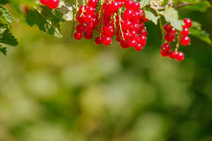 Ribes rubrum. Raw Ribes rubrum berry in summer day Royalty Free Stock Photo