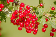 Ribes rubrum. Raw Ribes rubrum berry in summer day Stock Image