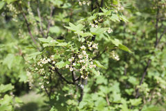 Ribes rubrum, red currant flowers Stock Images