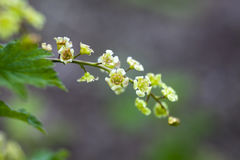Ribes rubrum. Redcurrant jonkheer van tets flowers Royalty Free Stock Image