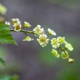 The Ribes rubrum. Redcurrant jonkheer van tets flowers Stock Image