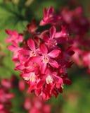 Ribes sanguineum Stock Image