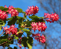 Ribes sanguineum. The early spring flowers of Ribes sanguineum also known as Flowering Currant or Red Flower Currant against a background of blue sky Stock Photos