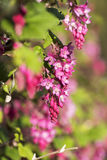 Ribes sanguineum, the flowering currant. Close up of Ribes sanguineum, the flowering currant, garden flowers Stock Image