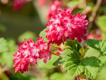 Ribes sanguineum flowers. Close up photo of red Ribes sanguineum flowers Stock Photography