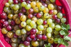 Ribes uva-crispa agresty Zdjęcie Royalty Free