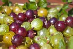 Ribes uva-crispa, agresty Fotografia Stock