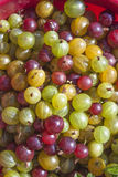 Ribes uva-crispa agresty Obrazy Stock