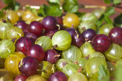 Ribes uva-crispa, Gooseberries Stock Photography