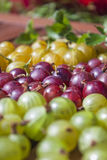 Ribes uva-crispa, gooseberries Stock Photo