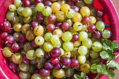 Ribes uva-crispa Gooseberries Royalty Free Stock Photo